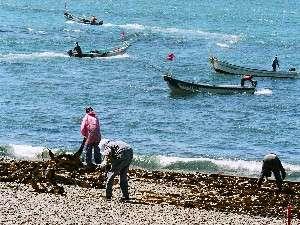 日高の夏の風物詩♪昆布漁の風景。