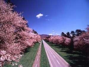 「静内二十間道路の桜並木」