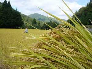 はさ掛け天日干しの米は旨さが凝縮していて自然の味がします。