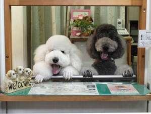 看板犬のスタンダードプードルがお出迎えします!