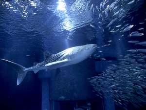 海遊館のジンベイザメの海くん