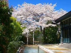 男性露天風呂の桜