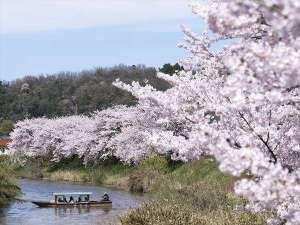 【大聖寺】名物の川下りでは手漕ぎの屋形船から見事な桜並木を堪能できます