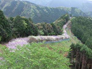 日本一長い藤棚