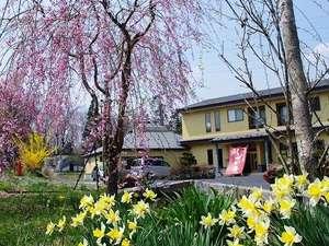 春うらら。桜も水仙もレンギョも咲きほこり
