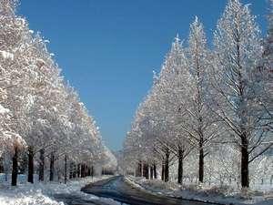 メタセコイア並木の雪景色(ホテルから車で約15分)