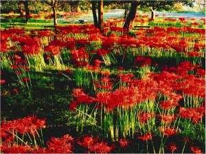 9月中旬~下旬が見頃。湖畔を真っ赤に染める彼岸花の絨毯。
