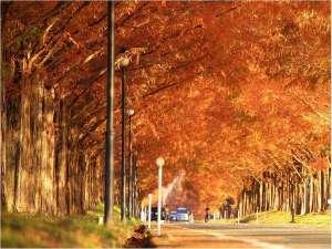 関西で行ってみたい場所No1に輝いたマキノのメタセコイア並木