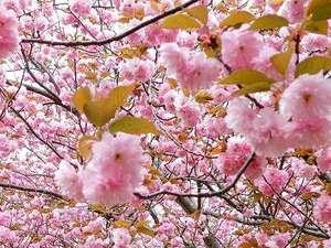 遅咲きの桜 4月末まで楽しめるマキノ千本桜