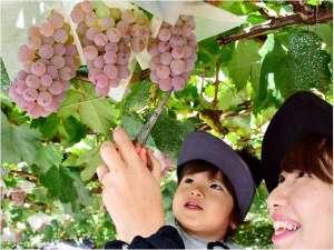 関西人気No.1スポット「メタセコイア並木」にある果樹園で60分食べ放題のぶどう狩り体験