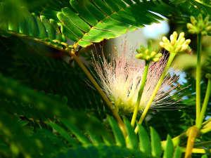 *当館のロゴマークに使用している『ねむの花』。エントランスにねむの木が植樹されています。