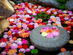 岡寺「華の池~水面に浮かぶ天竺牡丹~」は4/29~5/6予定