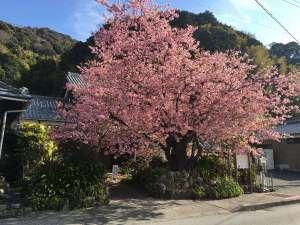 2/10~3/10 開催の 「河津桜まつり」 *写真は2017年2月23日撮影