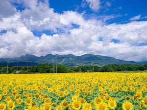◆那須ハートフルファーム◆那須連山をバッグに200万本のヒマワリが咲き誇る
