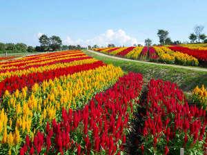 ◆那須フラワーワールド◆これぞ那須花(ナスカ)の地上絵!秋はケイトウが綺麗です♪