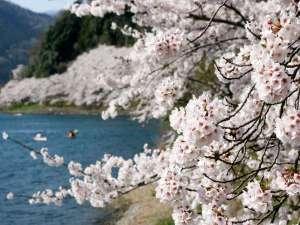 『春のたかしま3大桜街道』といわれる桜の名所のひとつ、海津大崎の桜