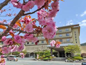 2021.5上旬 八重桜