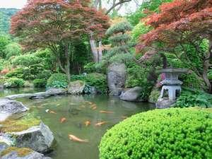 日本庭園の池には、鯉が泳いでいます。