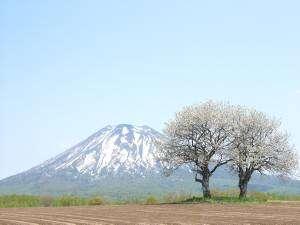 さくらんぼの木と羊蹄山