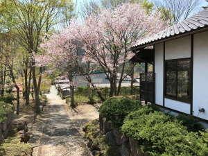 4/30の宿の大山桜の様子(例年見ごろは4月の後半、天候等で左右します)