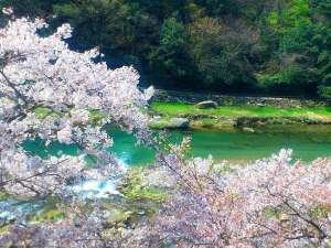 清流荘桜と三朝川のコラボ♪(2014.04.11)