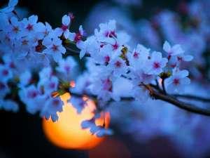 夜桜♪2019年桜予測…3月末~4月初旬