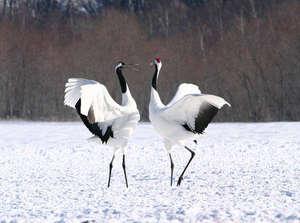 鶴が1月後半~3月上旬200羽が飛来(ホテル前から徒歩3分程度)