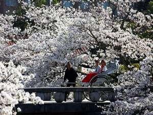 【お花見人力車】期間限定で界出雲に登場!400本の桜が咲き誇る土手を情緒豊かな人力車で巡る贅沢体験