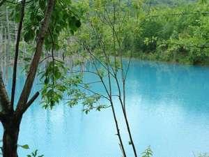 近年、美瑛で一番話題の観光スポット「青い池」。当館から約3.5キロです。