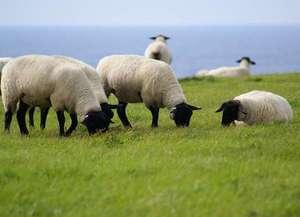 島の南海岸に風呂がる羊牧場