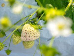 酸味と甘さのバランスが絶妙な『白いちご』味だけでなく香りもお楽しみください