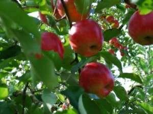 奥久慈の秋の味覚☆奥久慈りんご