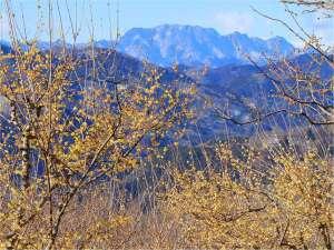 1~2月下旬 宝登山神社山頂では冬の花、ロウバイが見頃を迎えます。