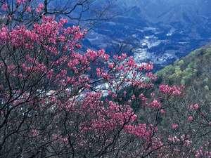 春の塩原を代表する花 八汐つつじ