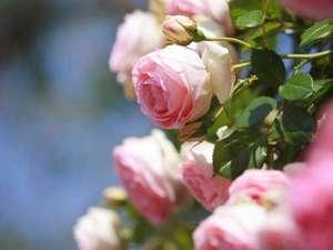 【5/12~6/3】バラ祭