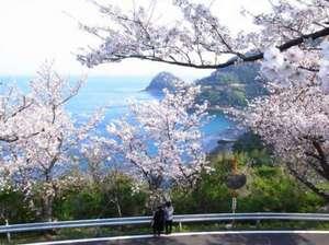 五条の千本桜 延長約5kmソメイヨシノが海岸に沿って延々と続きます。見頃は4月上旬。