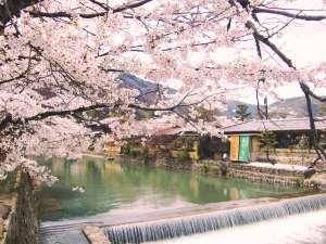 【宿周辺の桜】当館はお花見散歩にも適した立地です♪(昨年撮影)
