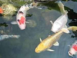 庭園の鯉たち お庭には出る事は出来ませんが、ロビーから眺める事が出来ます。