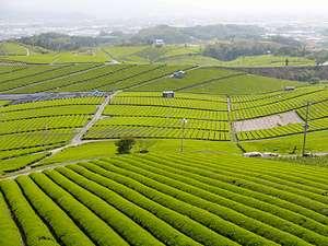 壮大な八女の茶畑に足をのばしてみては?