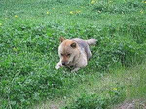 北海道犬のアオ(本名 あおい)