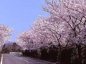 オリビアンの桜並木は、4月上旬が見頃♪