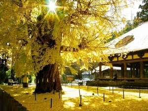 【秋】樹齢600年!見事な長床の大イチョウ