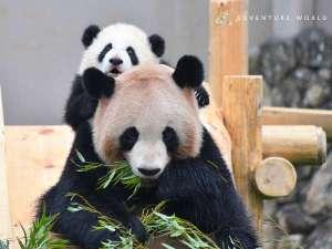 【アドベンチャーワールド】たくさんの子供パンダが生まれました。成長を見守る楽しみも。