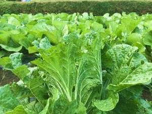 【畑で収穫(白菜)】当館の畑で育てています♪手作りの安心食材を使用しています。