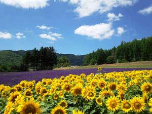 湖畔のラベンダー園と向日葵畑