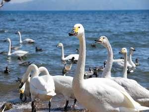 【車で10分】猪苗代湖長浜に飛来する白鳥たち