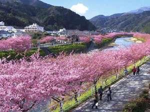 河津桜は例年2月下旬から3月上旬にかけてが見頃。お車で宙SORAから約40分(イメージ)