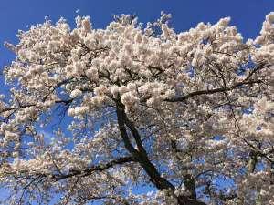 庭先に咲く樹齢80年以上の桜