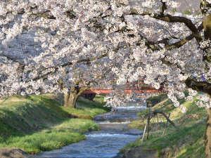ホテルから徒歩10分の桜名所「観音寺川桜並木」は例年GW頃が見ごろです。