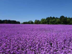 【敷地内「花だいら」】50万本のスイートロケットが広がる初夏の花だいら(見頃は5月下旬~6月上旬)